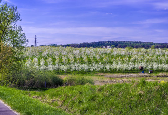Kwitnące sady w rejonie Grabionnej. Fot. Marcin Maziarz