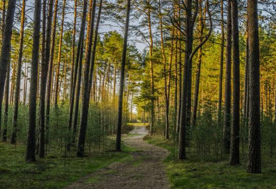 Las sosnowy w okolicy jeziora Krąpsko-Radlino. Fot. Marcin Maziarz