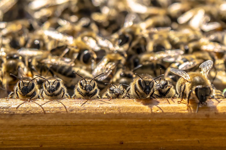 Pszczoły wygrzewające się w otwartym ulu. Fot. Marcin Maziarz
