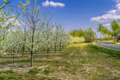 Kwitnące sady w Białośliwiu. Fot. Marcin Maziarz