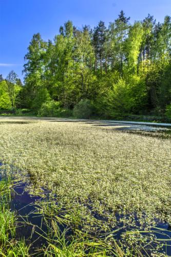 Staw w rejonie Kaliny porośnięty włosienicznikiem wodnym. Białe kwiaty pokryły prawie całą powierzchnię zbiornika. Fot. Marcin Maziarz